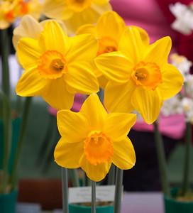 Prize Winning Daffs at St Leonards - April 3, 2011