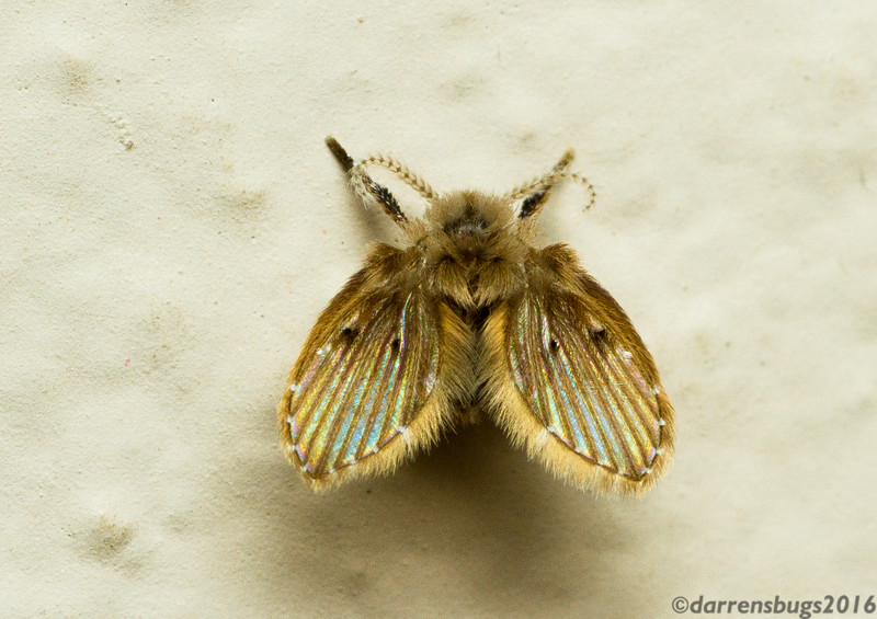 """Moth fly, family Psychodidae, from Chiang Mai, Thailand. These small, fuzzy Nematoceran flies are also called """"drain flies,"""" thanks to their occasional habit of taking up residence in bathroom sinks."""