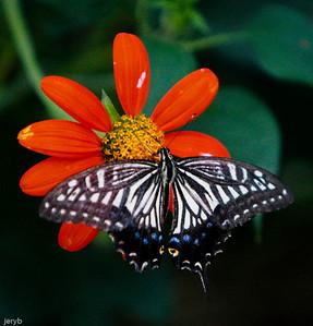 Still more butterflies