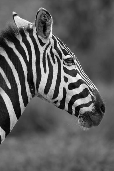 Zebra _MG_7611b.jpg