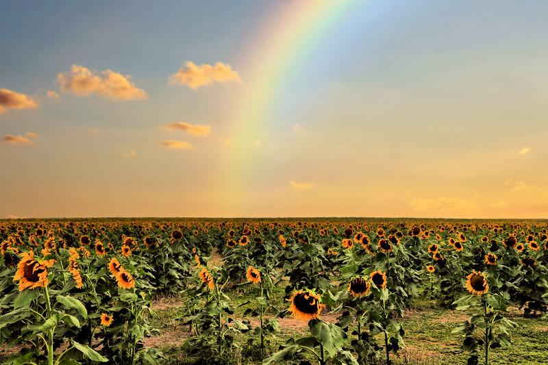 Sunflowers-065