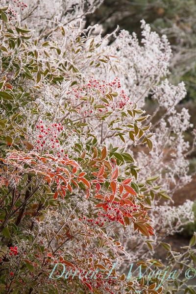 Nandina domestica - frost_9234.jpg