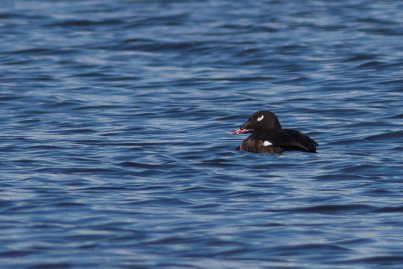 White-winged Scoter male bayside Park Point Duluth MN IMG_7584.jpg