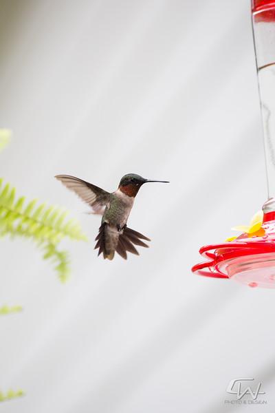 Hummingbird-1956.jpg