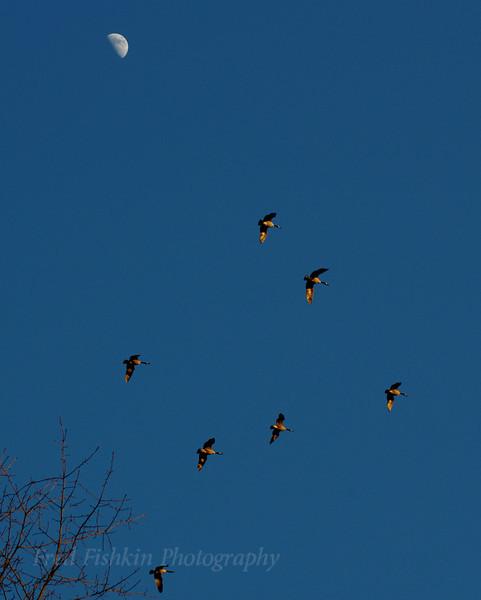 Geese moon.jpg