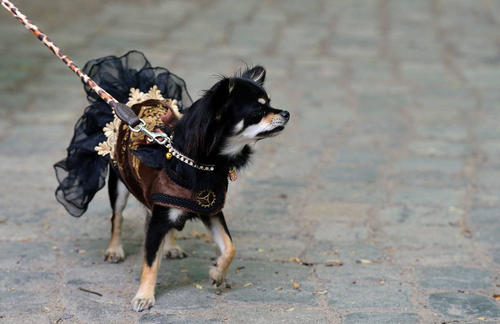 """. A dressed up dog attends a so-called \""""Victorian Picnic\"""" during the Wave-Gothic-Treffen (WGT) festival in Leipzig, eastern Germany, on May 13, 2016.   / AFP PHOTO / TOBIAS SCHWARZ/AFP/Getty Images"""