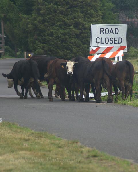 cows on loose.jpg
