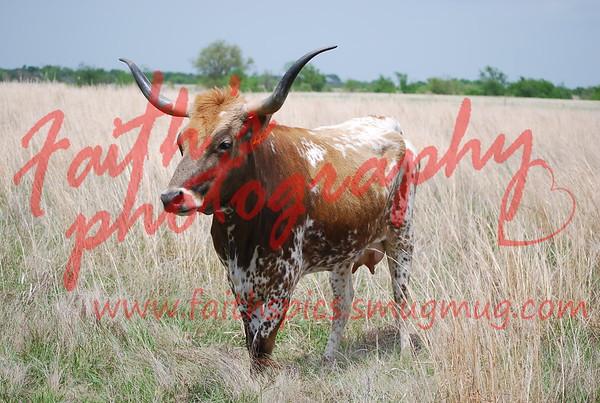 Cows 041708