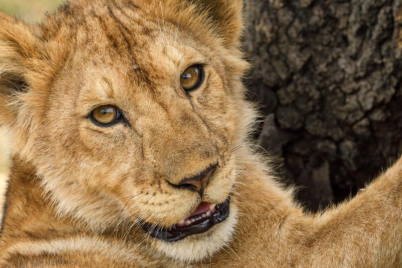 Lion-cub-serengeti-tanzania.jpg