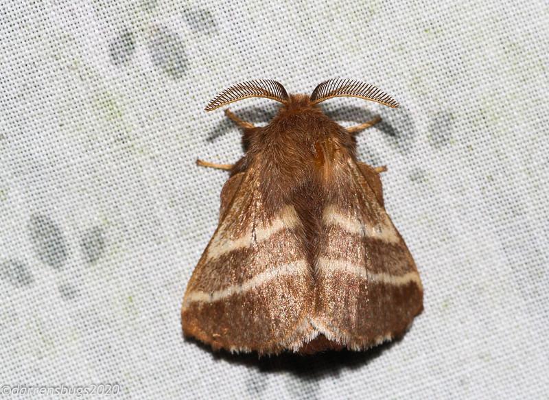 Eastern Tent Caterpillar Moth, Malacosoma americana.