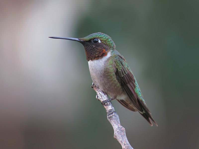 sx50_hummingbird_boas_076.jpg