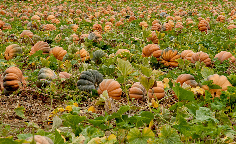 pumpkins in Provence