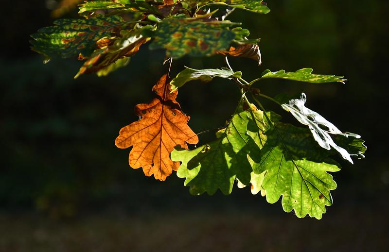 Oak leaves bathing