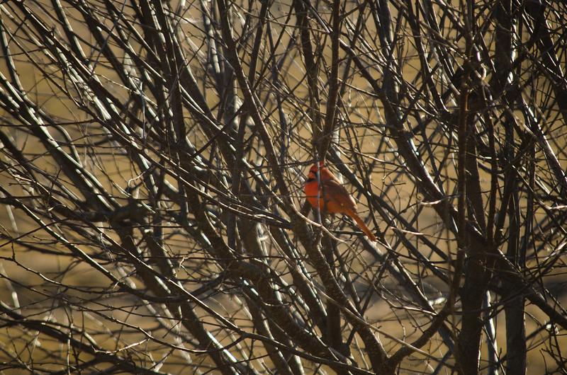 wildlife - cardinal in backyard(p).jpg
