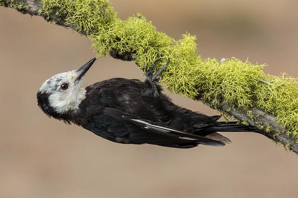 Woodpeckers (Picidae)