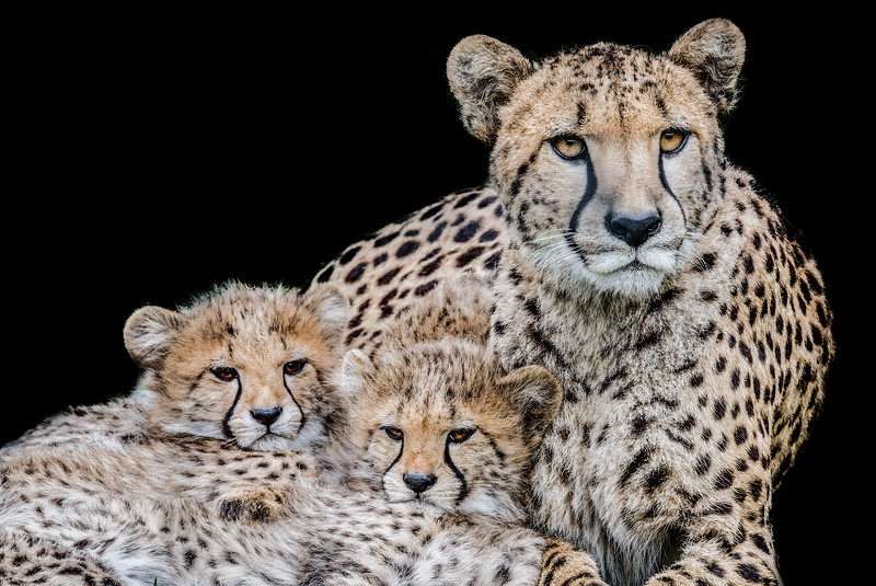 Cheetah mother with her two cubs