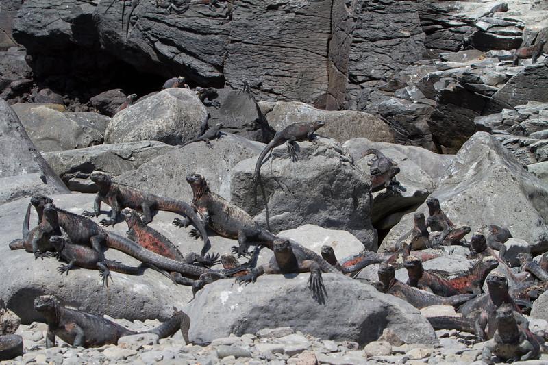 Marine Iguanas 2 at Suarez Point, Espanola.jpg