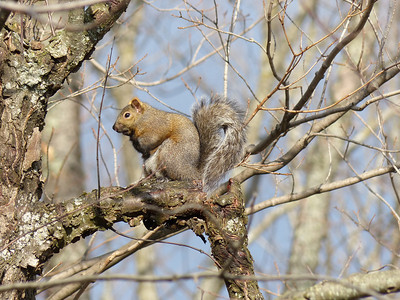 20121214 Eastern Gray Squirrel