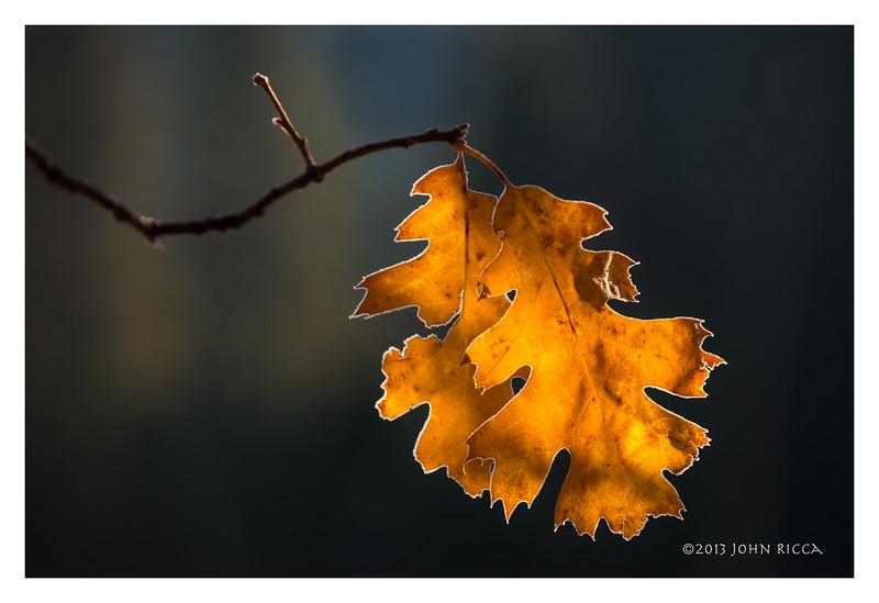 Oak Leaves In Cook's Meadow, Yosemite Valley.jpg