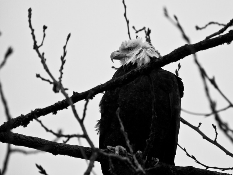 This eagle was in a tree right over the main trail, determined not to budge, even with loads of dogs walking past.