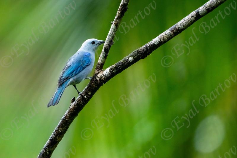 Blue- Gray Tanager (Thraupis episcopus)  EYL05218.jpg