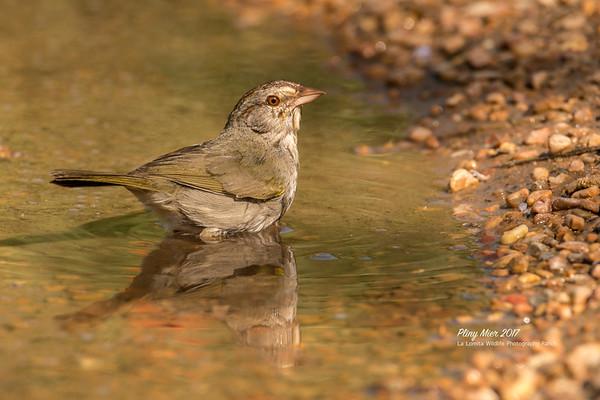 Olive Sparrow 3 LL.jpg