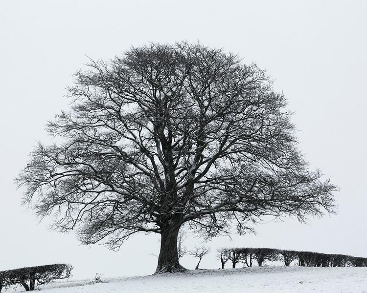 Beech in Winter