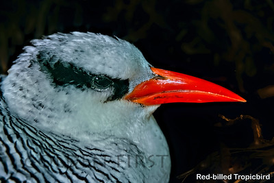 Red-billed Tropicbird, Little Tobago, Trinidad & Tobago