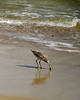 Sand Piper Fishing in Surf
