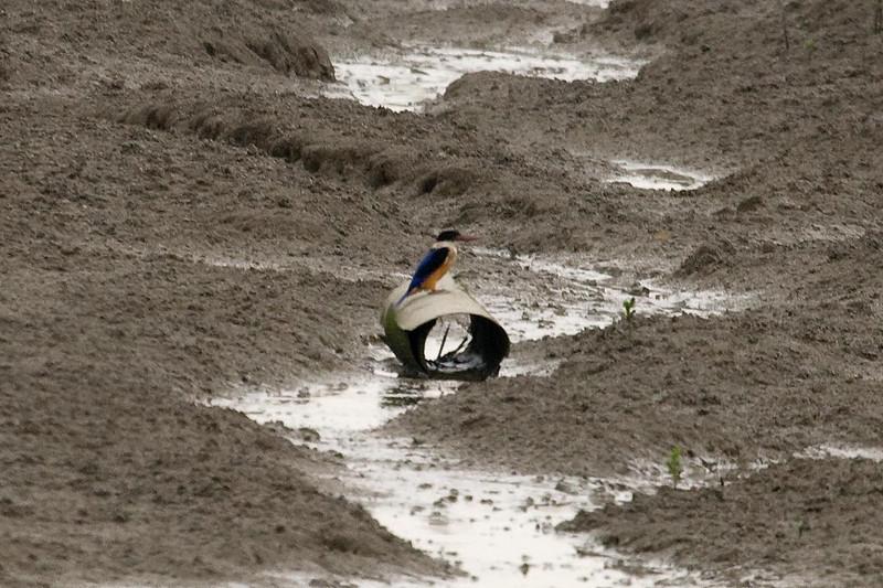 Black-capped Kingfisher at Mai Po, Hong Kong, China (11-8-08).psd
