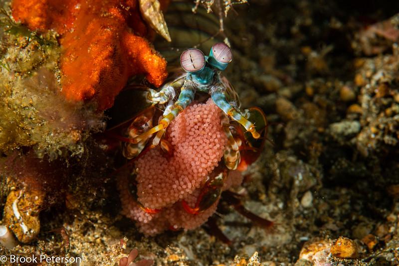 Peacock Mantis Shrimp with Eggs