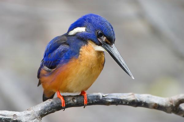 Birds of Queensland