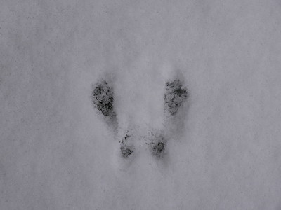 20180308 Eastern Chipmunk Tracks