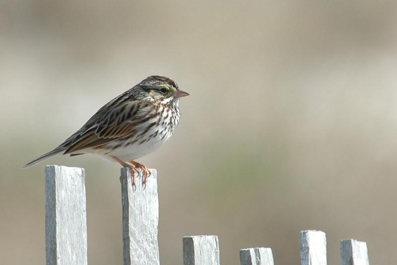 Sparrow - Savannah - St. Andrews State Park, FL