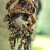 This spider built a nice nest under the pecan tree.  She cobbled together various pieces of bugs and bark to create her own cornucopia for hiding.  She tended to her eggs, but would quickly retreat to her lair if she felt threatened. I'm hopeful the toads will be ready for a feast when her young'un arrive.