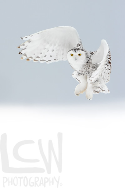 12-47729, Hovering Snowy Owl