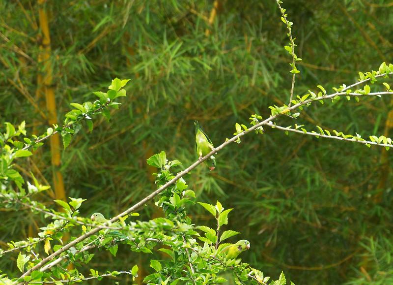 Orange-chinned Parakeets (Brotogeris jugularis)