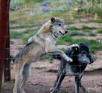 Colorado Wolf and Wildlife Center -  09-02-2017