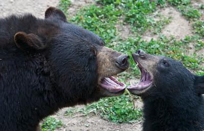 September 7, 2008 - Black Bears