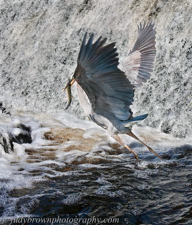 Heron Catching Fish