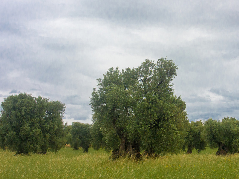 brancat olive trees 2.jpg