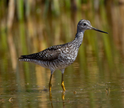 Greater Yellowlegs Tringa melanoleuca