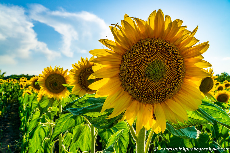 seeds_of_hope_sunflowers-1.jpg