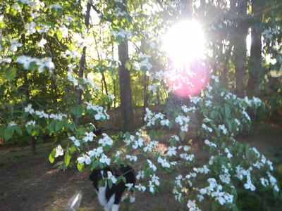Dogs and Dogwood 5-5-13
