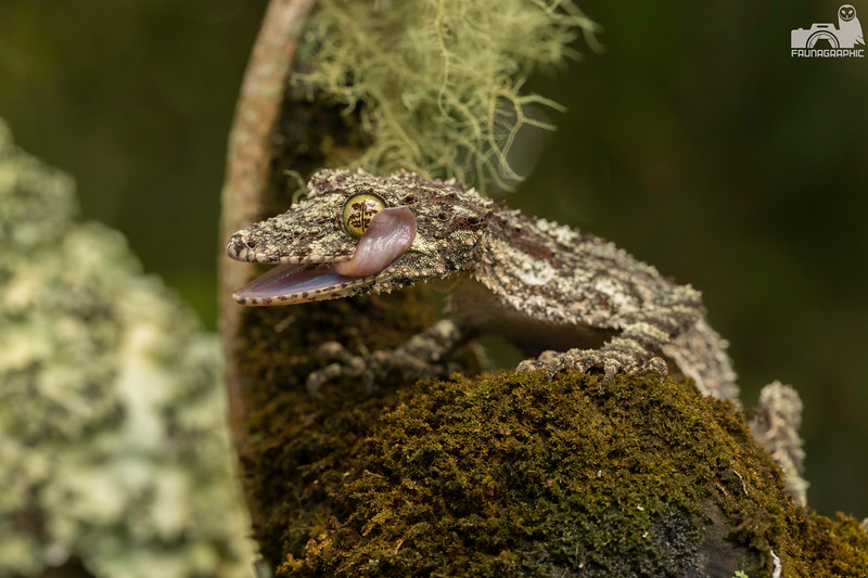 Northern Leaf-tailed Gecko