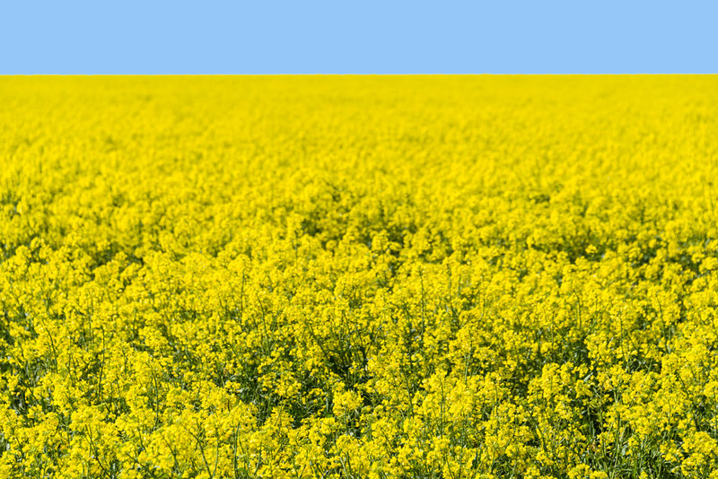 Fields of Yellow Canola
