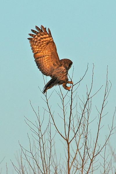 Owl - Great Gray - Carlton County, MN