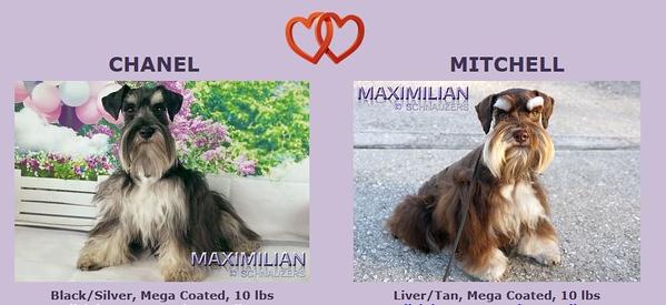 Chanel & Mitchell Puppies, DOB 4/14/2021