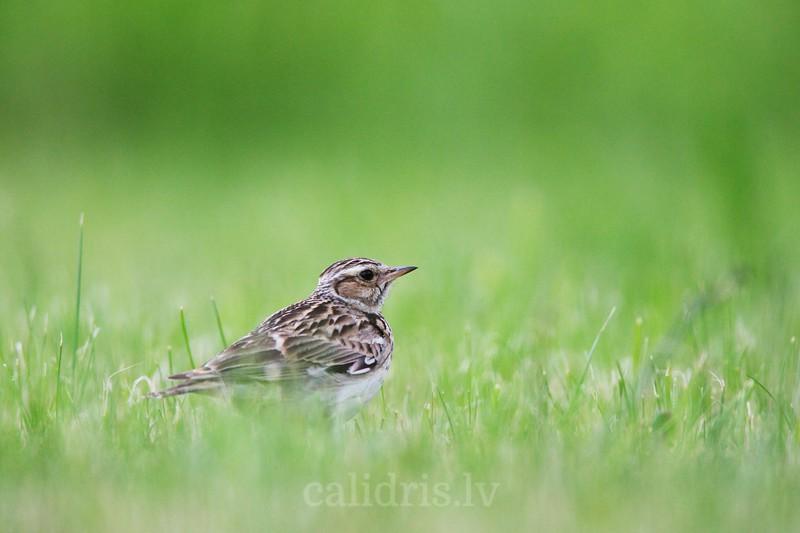 Eurasian skylark in the grass / Lauku cīrulis zālē