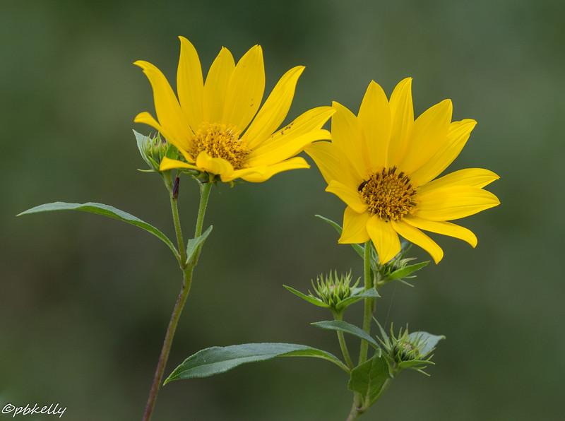 sunflower081415.jpg